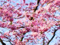3-денний тур Закарпаттям та цвітіння Сакури (25530)